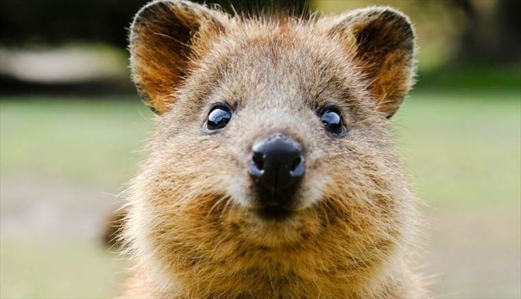 Drones, cloud and AI to protect Australia's quokkas